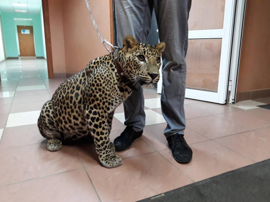 леопард на съемках в Нижнем