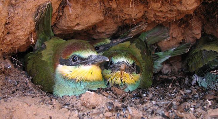 Нижегородскому орнитологу удалось сфотографировать птиц, занесенных в Красную книгу, в норе под землей