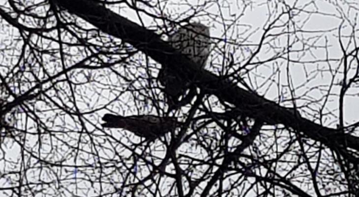Большая белая неясыть поселилась на дереве в центре Нижнего