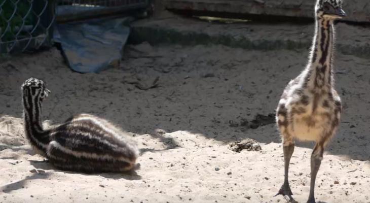 Маленькие эму вылупились в зоопарке «Лимпопо» в Нижнем Новгороде (ВИДЕО)