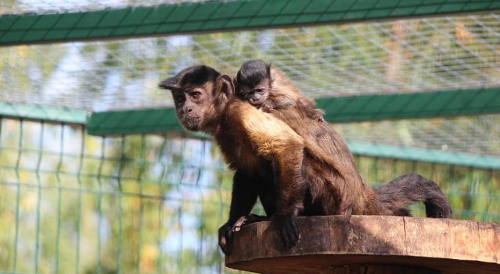 Малыш капуцинов родился в нижегородском зоопарке «Лимпопо» (ФОТО)