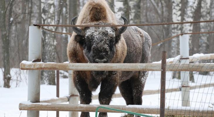 Зубр переехал из нижегородского зоопарка «Мишутка» в национальный парк в Гусь-Хрустальном