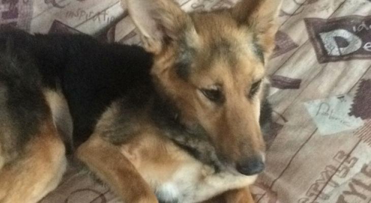 «Хрупкая малышка сбезумными глазами»: собака сдефектом изнижегородского приюта обрела новую семью (ФОТО, ВИДЕО)
