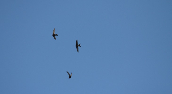 «Стрижепад» обрушился на Нижегородскую область: что делать с упавшей птицей?
