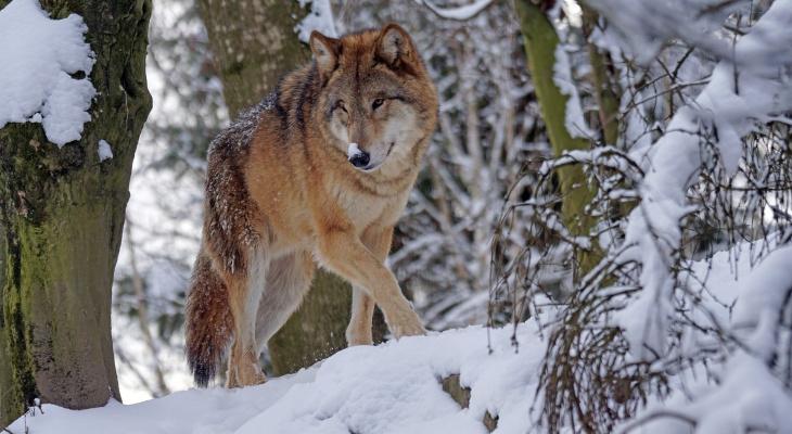 Нижегородские охотники убили стаю волков в Уренском районе