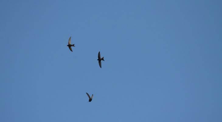 «Стрижепад» обрушился на Нижегородскую область: что делать с упавшей птицей