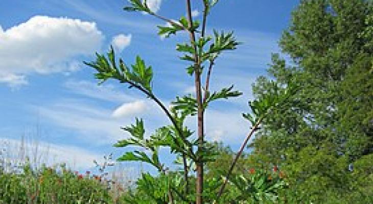 Названо растение, которое помогает от коронавируса